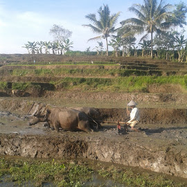 Indonesian farmer and his buffalo by Namaku Cinta - Animals Other