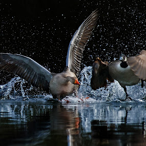 Mach die Flatter by Friedhelm Peters - Animals Birds ( water, splash, speed, pwcmovinganimals, action, goose,  )