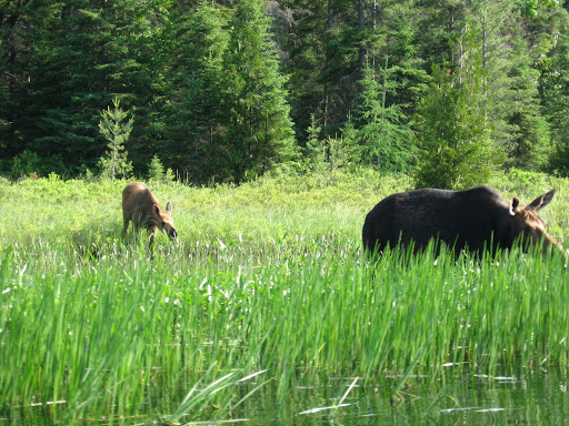 Cow Moose and Calf
