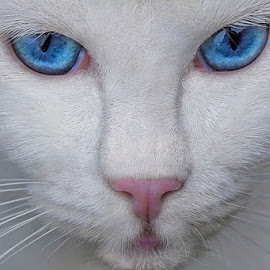 My Blue Eye Cat by Dhemmy Zeirifandi - Animals - Cats Portraits