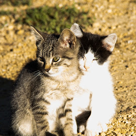 Good Morning Kittens  by Roberta Osmers - Animals - Cats Kittens ( morning sun, farm kitties, kittens, sleepy eyes )