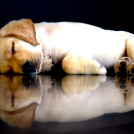 Puppy Duo by Rajendran C - Animals - Dogs Puppies ( puppy, dog reflection, dog, labrador )