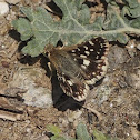 Indian or Grizzled Skipper