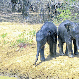 Baby elephants by Jaliya Rasaputra - Animals Other Mammals