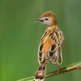 zitting cisticola by Kamal Hari Menon - Animals Birds ( nature, wildlife, photography birds wildlife profile warblers, birds, warbler )