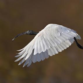 White Ibis by Sharad Agrawal - Animals Birds ( bird, ibis, nature, rajasthan, udaipur, white, wildlife, india, birds, bif )