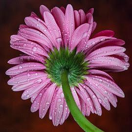 November Blooms #14 by Rakesh Syal - Flowers Single Flower