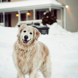 Candid Pose in the Snow by Joseph Humphries - Animals - Dogs Portraits ( goldenretriever, happydog, pose, winter, cold, snow, candid, fun, dog, smile, labrador )