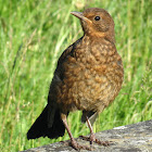 Immature Common Blackbird