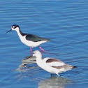 American Avocet and Black-necket Stilt