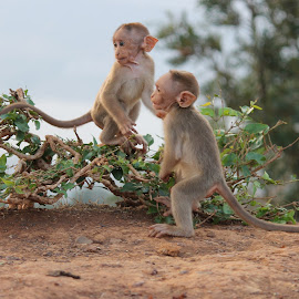Twins by Amit Ghate - Animals Other ( #mahabaleswar, #ghateamit, #babymonkeys, #picnic, #tabletop )