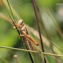 uncertain grasshopper