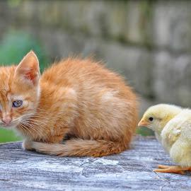 by Maja  Marjanovic - Animals - Cats Kittens ( chicken, cats, kitten, cat, animals, kittens, kitty )