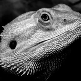 Bearded Dragon - Lenin by Gareth Dickin - Animals Reptiles ( lizard, dragon, proud, arm, reptile, eye )
