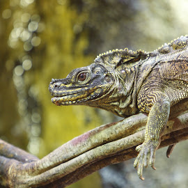 Lizard by Steve Cowling - Animals Reptiles (  )