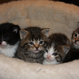 The Ladies by Steve Randall - Animals - Cats Kittens ( cats, kitten, basket, kittens, cute,  )