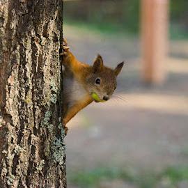 Orava by Niina Hakkarainen - Animals Other Mammals