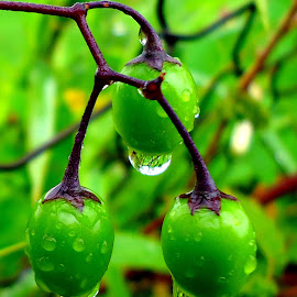 Green drops by Gordana Cajner - Nature Up Close Natural Waterdrops ( water drops, nature, green, drops, nature up close )