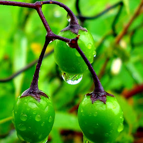 Green drops by Gordana Cajner - Nature Up Close Natural Waterdrops ( water drops, nature, green, drops, nature up close,  )