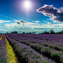 Mayfield Lavender by Lincoln Wallace - Landscapes Prairies, Meadows & Fields ( creativity, lighting, art, artistic, purple, mood factory, lights, color, fun )