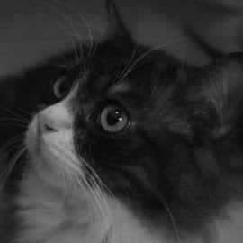 Otis by Black IsBeauty - Animals - Cats Portraits ( cats, cat )