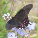 Pink-spotted Swallowtail
