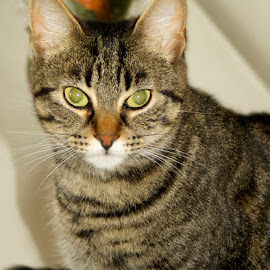 Cali's eyeliner by Debbie Piccone - Animals - Cats Portraits ( cat, cat eyes, green eyes, tabby )