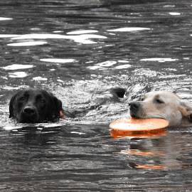 frisbee by Michele Williams - Animals - Dogs Playing (  )