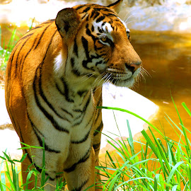 Bengal Tiger by Vijayanand K - Animals Lions, Tigers & Big Cats ( big cat, wild, tiger, bengal tiger, animal,  )