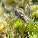 Moss fly