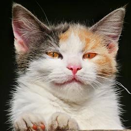 by Milan Vujasić - Animals - Cats Portraits