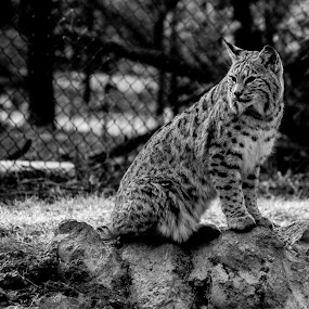Bob Cat in B&W by Scott Morgan - Black & White Animals ( bob cat, sitting, b&w, black and white, rock,  )