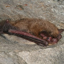Easternn Small-footed Myotis