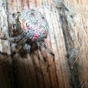 Marbled orbweaver