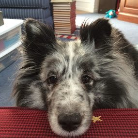 Sheltie Lounging by Stephanie Parmley Givens - Animals - Dogs Portraits (  )