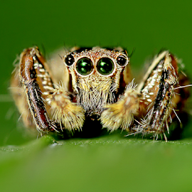 by Fentee  Affandy - Animals Insects & Spiders ( spider, insect, animal )