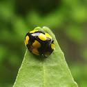 Fungus-eating ladybird beetle