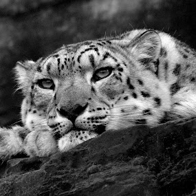 by Ralph Harvey - Black & White Animals ( wildlife, ralph harvey, snow leopard, marwell zoo, animal )