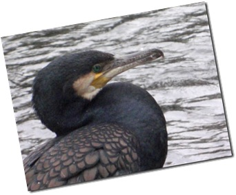 Black shag or cormorant on Avon