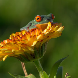 Red  Eye Tree Frog  by Kutub Macro-man - Animals Amphibians ( wild life, nature, red eye tree frog, flower, animal,  )