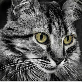 close up cat by Willie Forde - Animals - Cats Portraits ( cats, cat face, cat, cat eyes, cat portrait )