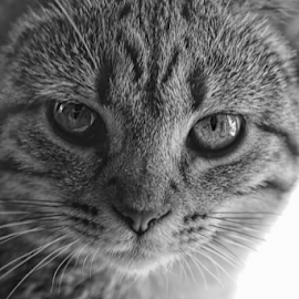 Isis in Black & White by Marsha Biller - Animals - Cats Kittens ( cat, kitten, b&w, feline, egyptian mau, portrait,  )