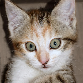 Wide-Eyed Callie by Belinda Osgood - Animals - Cats Portraits ( calico, expression, cat, kitten, furry, young, calico cat, eyes )