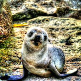Baby seal by Natascha Bezuidenhout - Animals Other