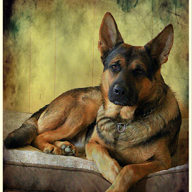 Nobel  by Dawn Vance - Animals - Dogs Portraits ( male, german shepherd, dog, portrait, regal, animal )