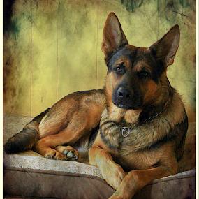 Nobel  by Dawn Vance - Animals - Dogs Portraits ( male, german shepherd, dog, portrait, regal, animal )
