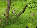 lemura lepá