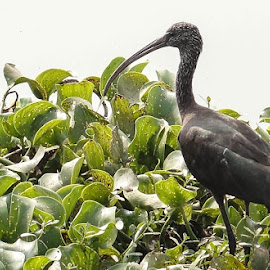 GLOSSY IBIS by Sanky Dhande - Novices Only Wildlife