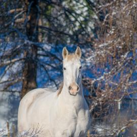White Horse by Denise Johnson - Animals Horses ( animals, equine, horses, horse, animal,  )