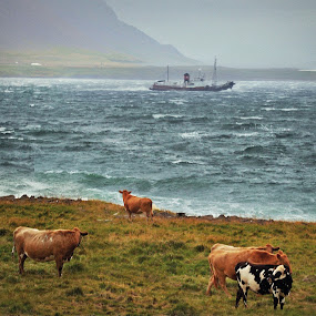 The cows by Kristján Karlsson - Animals Sea Creatures ( iceland, ship, sea, whale, cows )